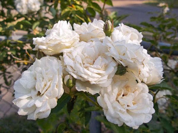 Davy Barr Prosperity bloom cluster 06-16-11-w.jpg