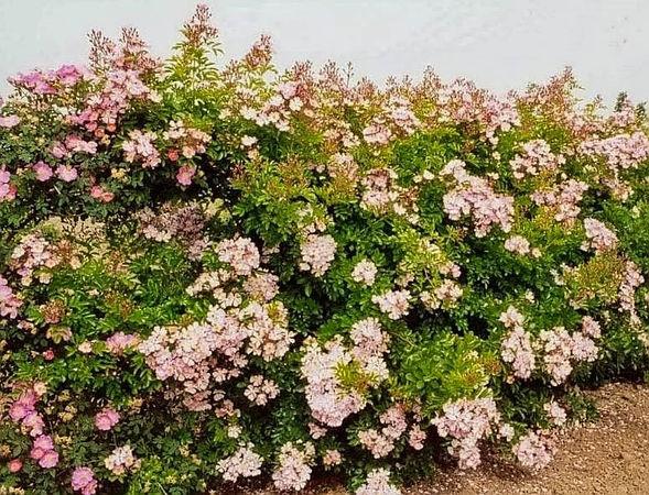 R.multiflora adenochaeta filtered-3-g.jpg