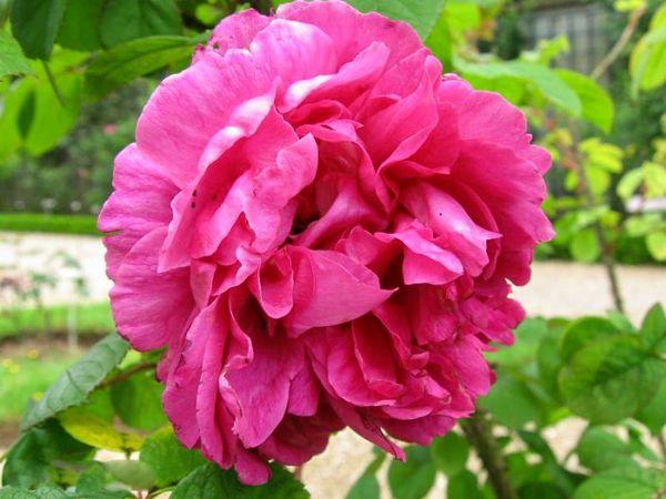 Rose à Parfum de L'Haÿ, Stéphane Barth, L'Hay 1-w.jpg