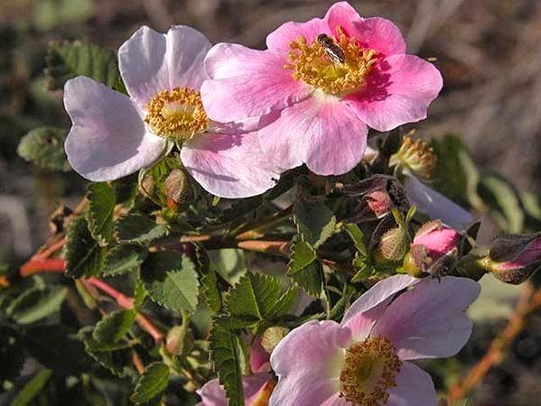 R. californica, Cassandra Bernstein 10-w.jpg