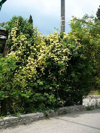 Banksia Lutea 4, Krim-w.jpg
