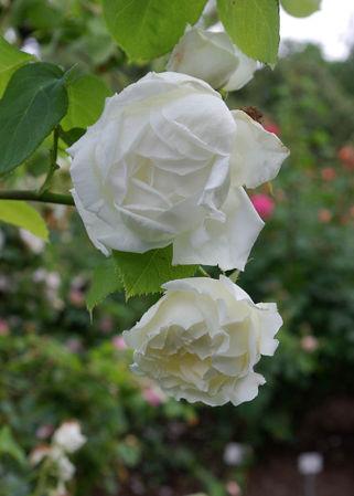Blanc Pur, Mauget 1827, Nois. H.-3-SGH-1-w.jpg
