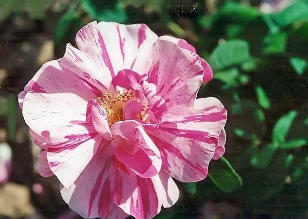 Rosa gallica versicolor (rosa mundi) filtered filtered-3-g.jpg