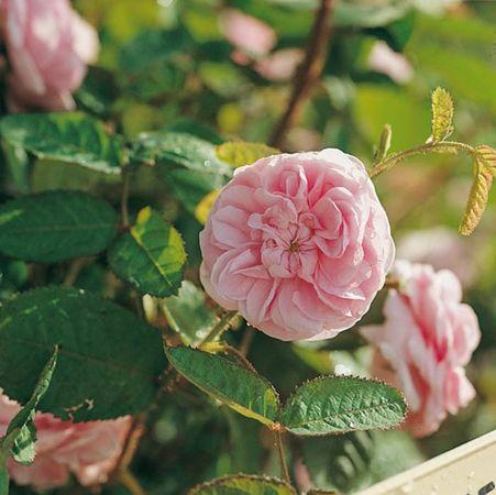 Josephine de Beauharnais, Roses Guillot-w.jpg