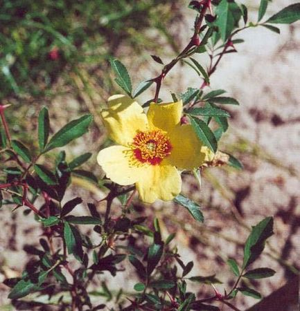 R.x hultemosa hardii, Raymond Loubert, L'Hay.jpg