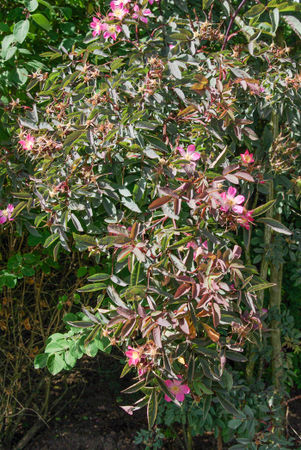 Rosa glauca, Purr. SGH (3)-1-w.jpg