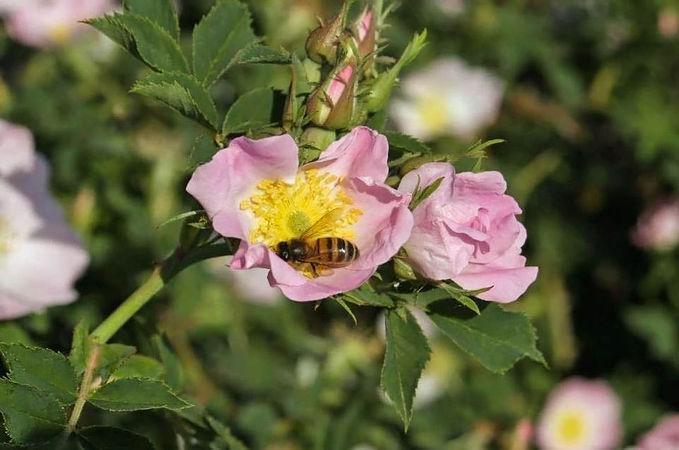 R.orientalis filtered-3-g.jpg