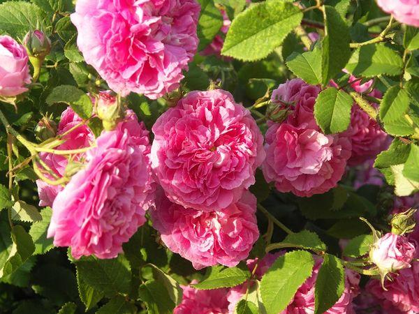DuchesseDeBerry G003 20110609.jpg
