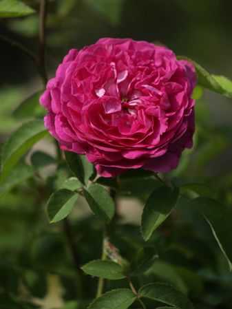 Rosa Remontant-Reine des Violettes-2019-08-04- 8078584.jpg