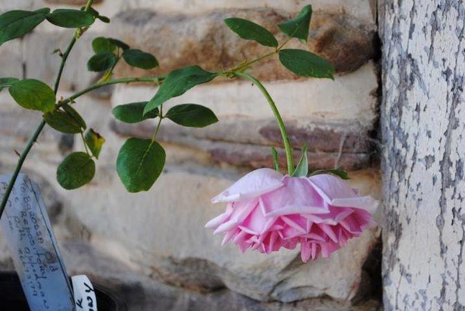Polly E M Blieschke Pink Granny, FR 2.jpg