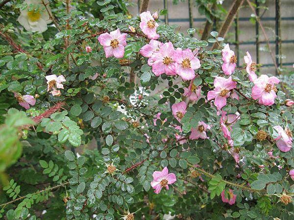 Rosa farreri f. persetosa Stapf, Stéphane Barth, L'Hay 2-w.jpg