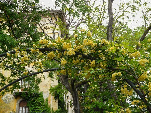 Banksiae lutea, Andea Moro, Università di Trieste 3-w.jpg