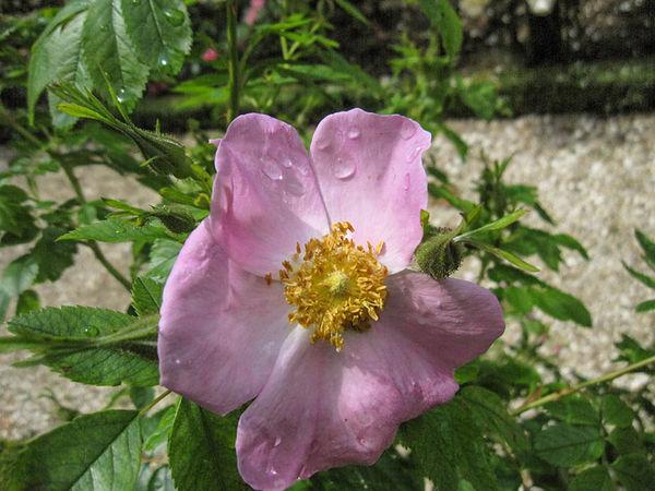 R.carolina var. grandiflora, Stéphane Barth, L'Hay 1-w.jpg