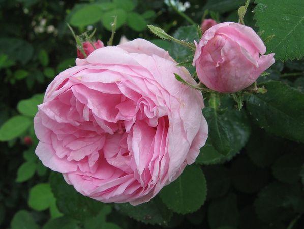 Rose des peintres 11. juni 2008 4.jpg