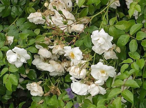 Sander's White Rambler filtered-3-g.jpg
