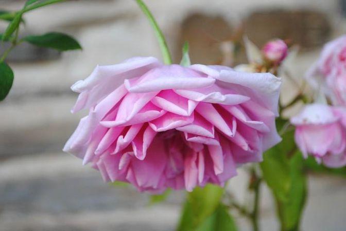Polly E M Blieschke Pink Granny, FR 7.jpg