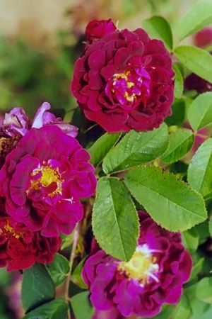 Tuscany (the old velvet rose) filtered-3-g.jpg