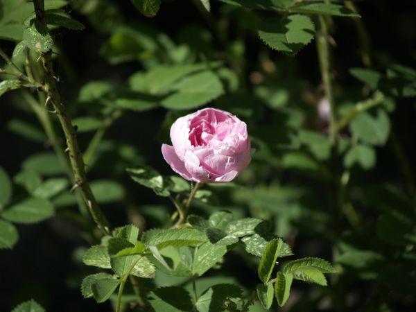 Rosa cenfifolia-Pompon de Bourgogne-2020-06-20- 6158942.JPG