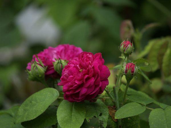 Rosa Remontant-Rose de la Reine-2020-07-18- 7189288.jpg