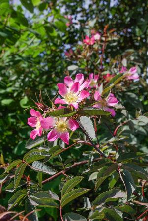 Rosa glauca, Purr. SGH (2)-1-w.jpg