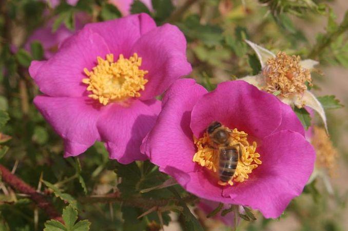 Rosa stellata var. mirifica, Loubert 2.jpg