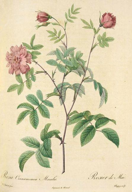 Cinnamomea maialis i.jpg