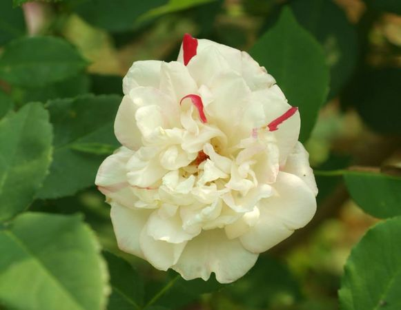 Fortune's Five-Colored Rose 2.jpg