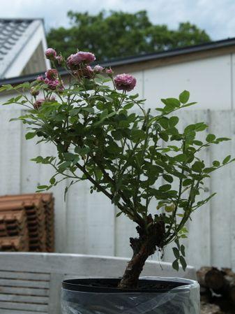 Rosa cenfifolia-Pompon de Bourgogne-2019-06-21- 6218185.JPG