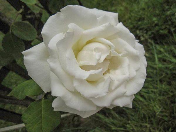 Blanc pur, Stéphane Barth, Roseraie Du Val-de-Marne 1-w.jpg