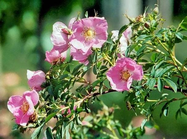 R.blanda (R.fraxinifolia)-3-g.jpg