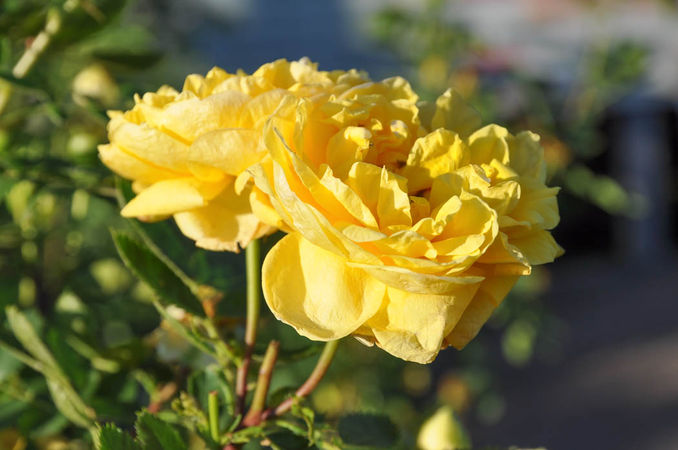Persian Yellow-w.jpg