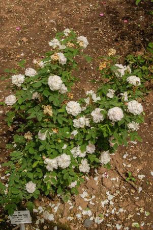 Pompon blanc parfait, Verdier 1876, Alba SGH (1)-1-w.jpg