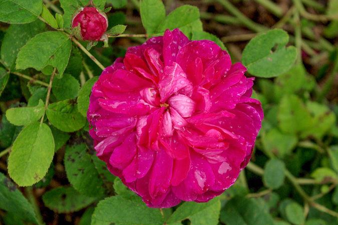 Rose du Roi (Original) (1)-1-w.jpg