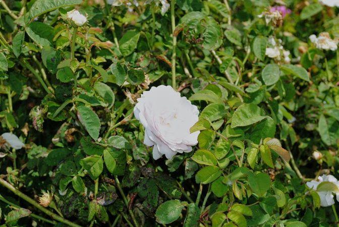 1G025 Duchesse de Montebello vorher Triomphe de Flore3.jpg
