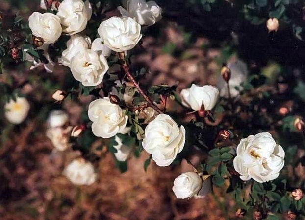 R.pimp. Double White filtered-3-g.jpg