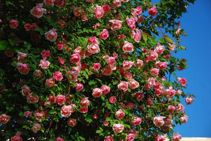 Bonne Maison lijiang road rose3.jpg