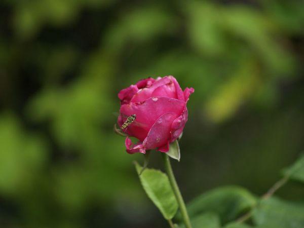 Rosa Bourbonica-LBDLS-2020-07-18- 7189279.jpg