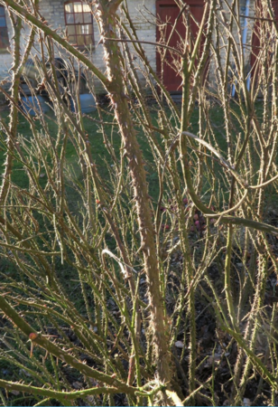 Pink Grootendorst, Ostergaard 5.PNG