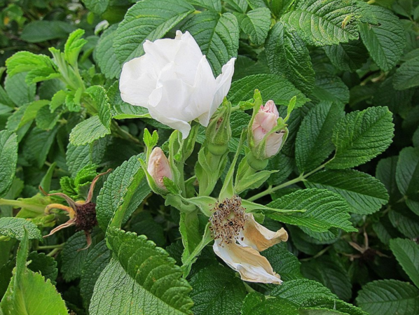 R. rugoasa 'Alba', Ostergaard 3.PNG