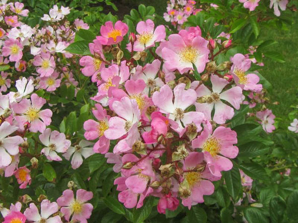 R.multiflora adenochaeta, Stéphane Barth. L'Hay 3-w.jpg