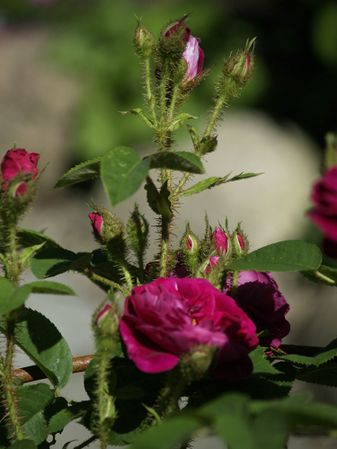 Rosa Centifolia-Henry Martin-2020-06-15- 6158961.jpg