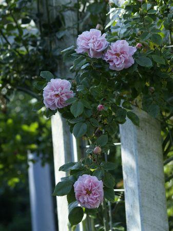 Rosa Wichurana-Gerbe Rose-2019-06-09- 6097849.JPG