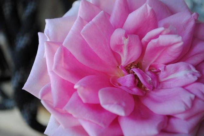 Polly E M Blieschke Pink Granny, FR 5.jpg