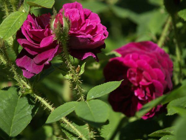 Rosa Centifolia-Henry Martin-2020-06-15- 6158960.jpg