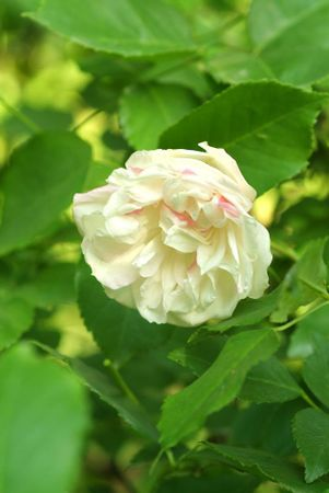 Fortune's Five-Colored Rose 5.jpg