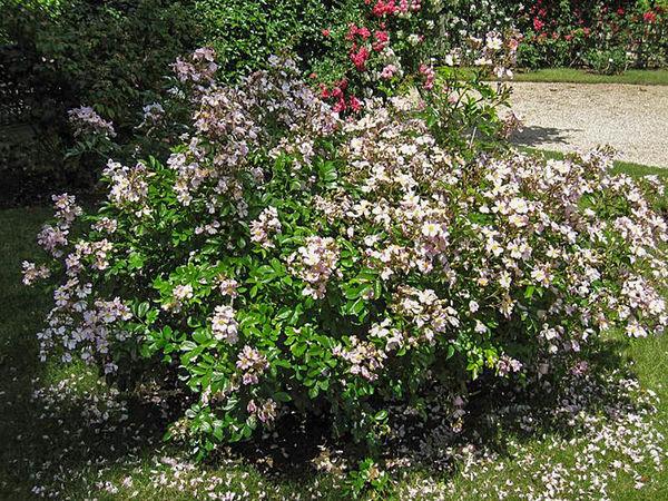 R.multiflora adenochaeta, Stéphane Barth. L'Hay 2-w.jpg