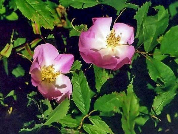 R. anemoneflora-3-g.jpg