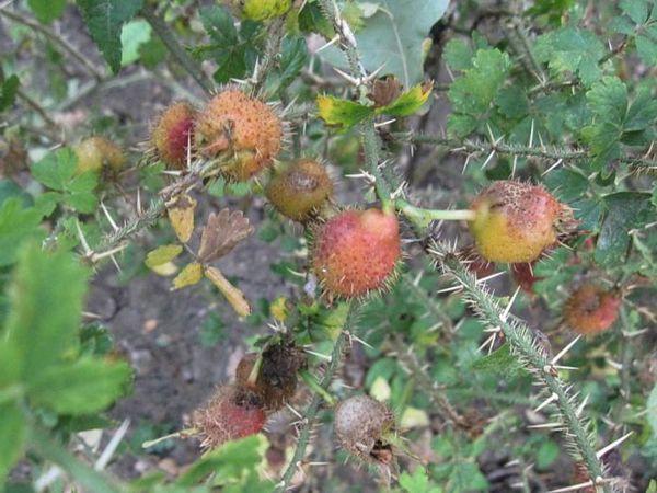 Rosa stellata var. mirifica 6-6-w.jpg