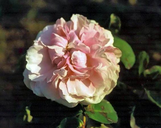 Rosa centifolia rosea filtered-3-g.jpg