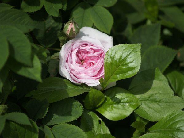 Rosa Alba-Koenigin von Daenemark-2020-06-13- 6138896.jpg